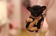 criador-cachorro-toy-madrid